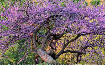 A Pink Unicorn:  The Eastern Redbud Displays Spring Exuberance