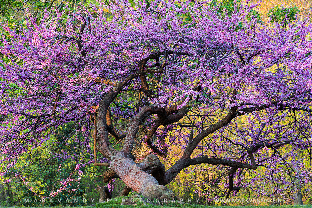 Spring Pink: An Eastern Redbud Tree in the Nation's Capital