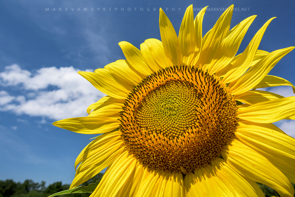 Summer Sunshine: Sunflowers at McKee Beshers WMA Maryland 2015