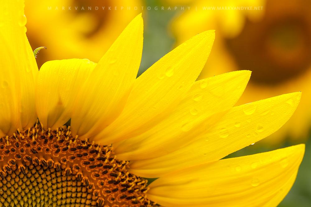Bright & Optimistic: Summer Sunflowers McKee Beshers WMA Maryland 2015