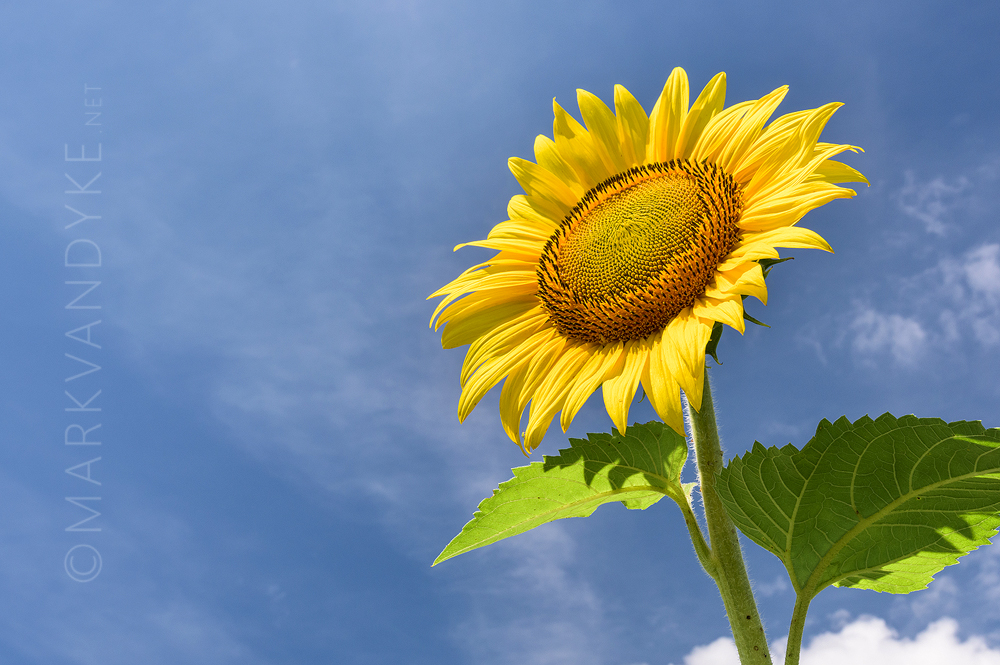 Summer Optimism: Sunflowers at McKee Beshers WMA in Maryland 2015