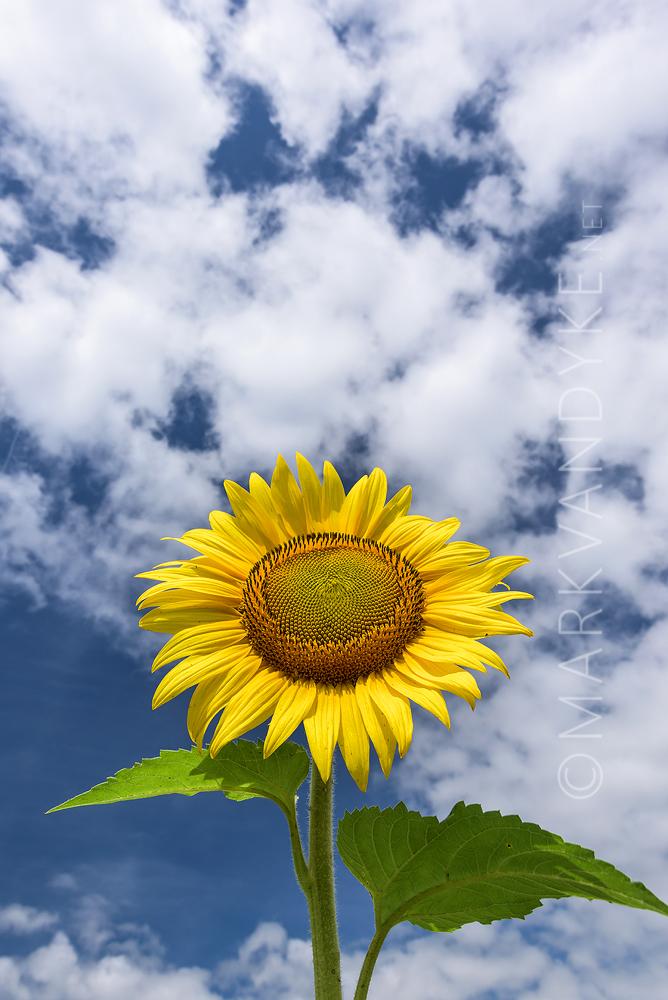 Bright Days: Summer Sunflower McKee Beshers WMA 2015