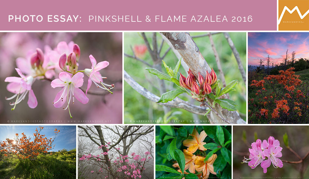 Photo Essay:  Pinkshell & Flame Azalea 2016