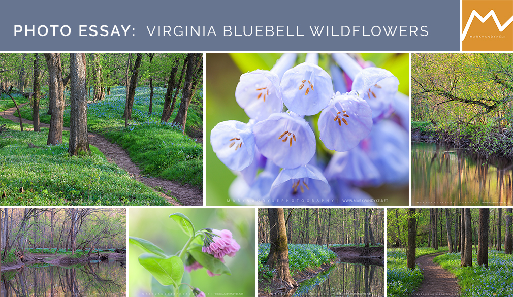 Photo Essay:  Virginia Bluebell Wildflowers