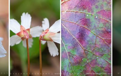 Photo Essay:  Oconee Bell Wildflowers 2017